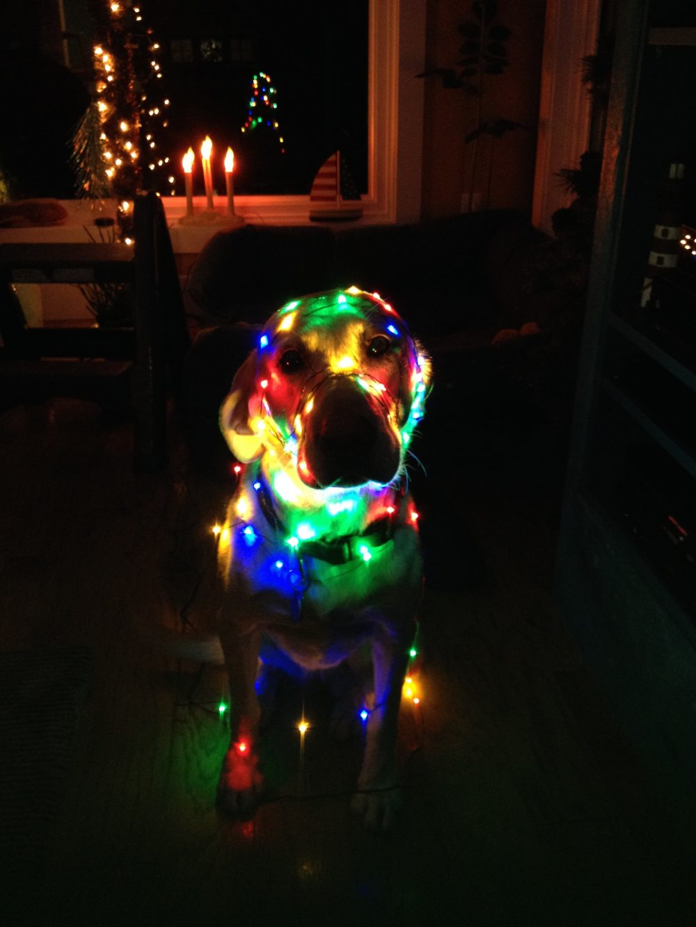 Festive Dog of the Week: Bondi