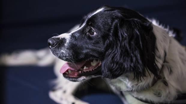 Amazing puppy trained to sniff out Superbugs!