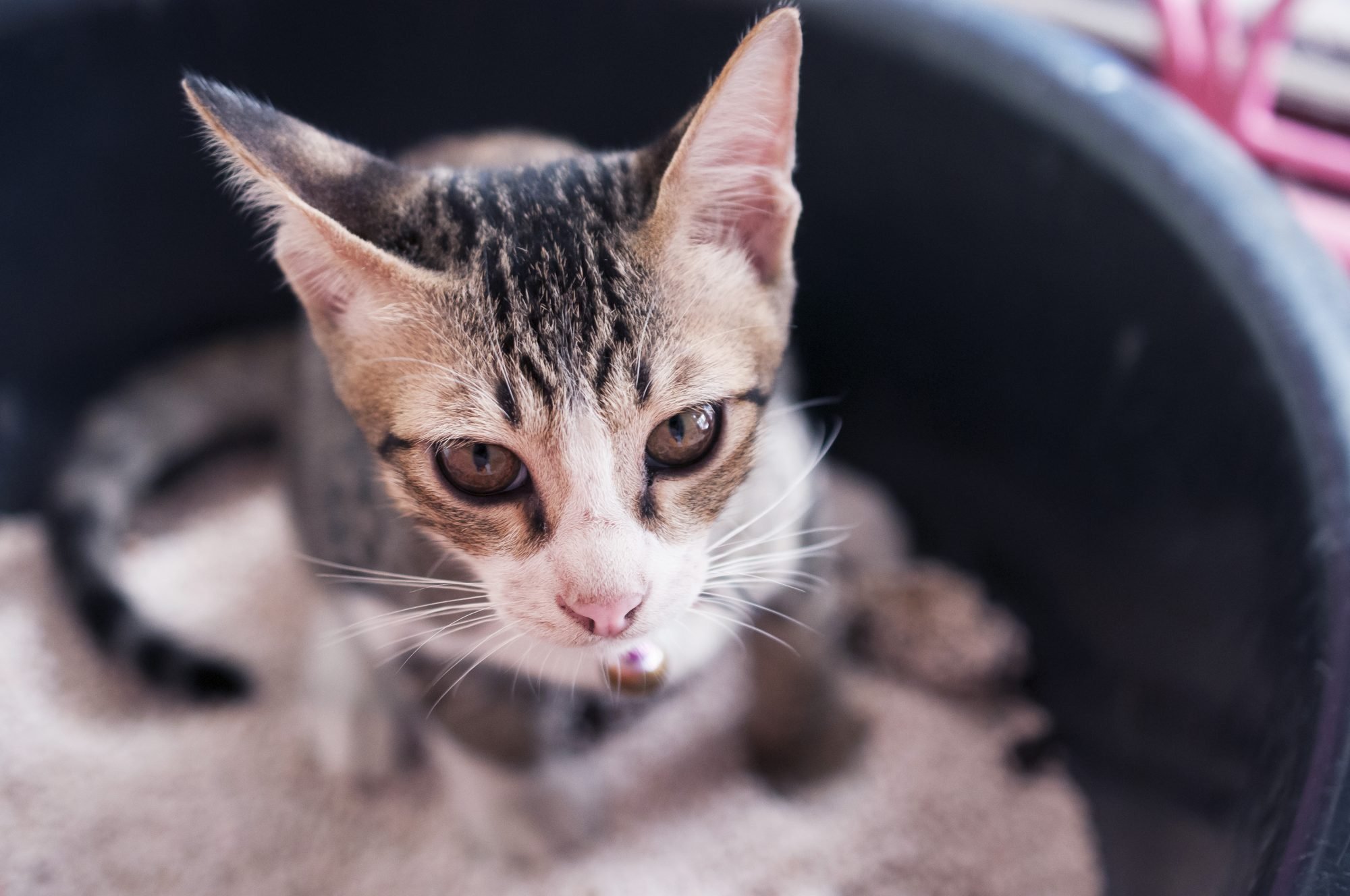 Protesting the Litter Box: Inappropriate Urination or Defecation with Cats